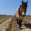 Le cheval au travail domaine Le Puy naturedevin.com vin bio