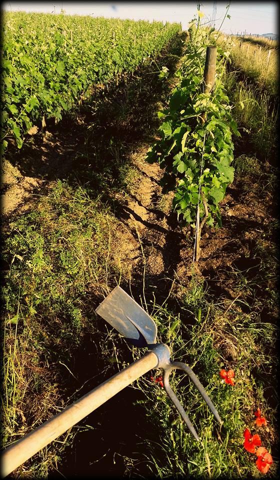 Le travail de la vigne domaine Déplaude naturedevin.com vin bio