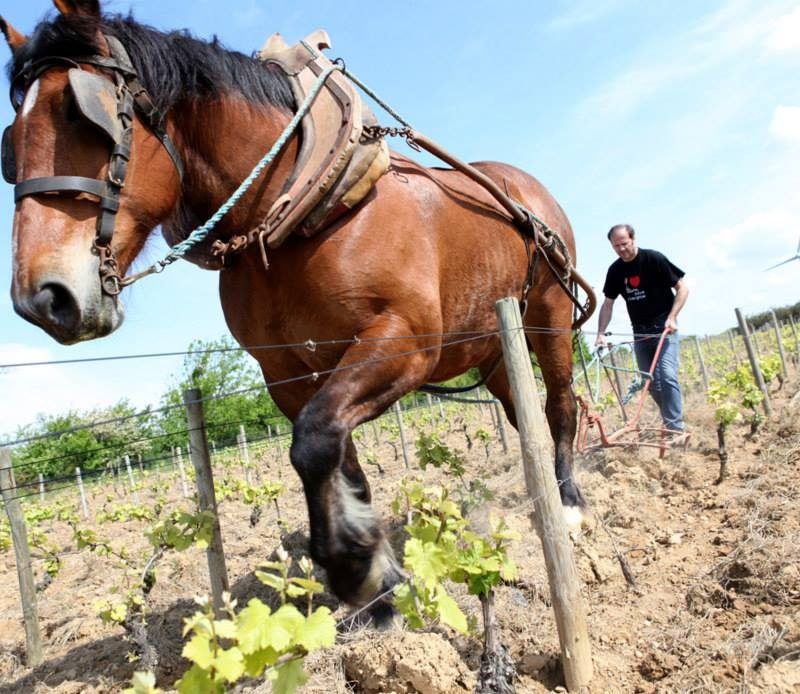 Le travail au cheval domaine Saint Nicolas naturedevin.com vin bio