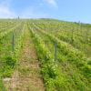 Les vignes en coteaux domaine des Orchis naturedevin.com vin bio