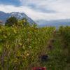 Vendange 2016 domaine Giachino naturedevin.com