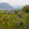 Vendange 2016 domaine Giachino photo : natmedia.com