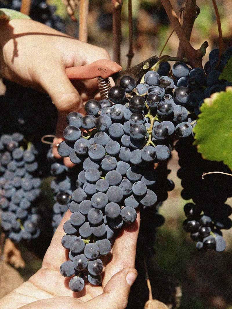 Une belle grappe de Syrah domaine Les Bruyères naturedevin.com vin bio
