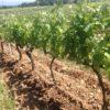 Crozes-hermitage Aléophane 2016, naturedevin.com, vignes :les pichères