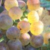 Roussanne domaine Aléophane, naturedevin.com