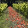 Vignes, domaine Montirius naturedevin.com