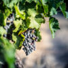 Raisins, domaine Montirius naturedevin.com