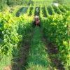 Les vignes Domaine des Amphores naturedevin.com