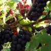 Les vignes de Cerdon, Domaine Renardat-Fache naturedevin.com