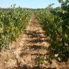 Les vignes. Domaine de Bannières naturedevin.com